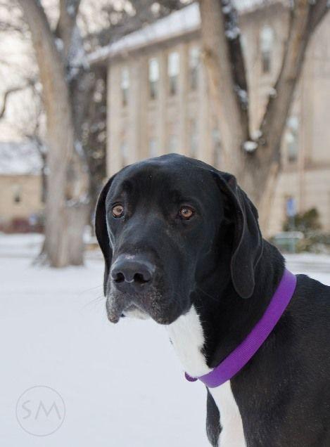 Tank - Great Dane I | Big Dogs Huge Paws, Inc