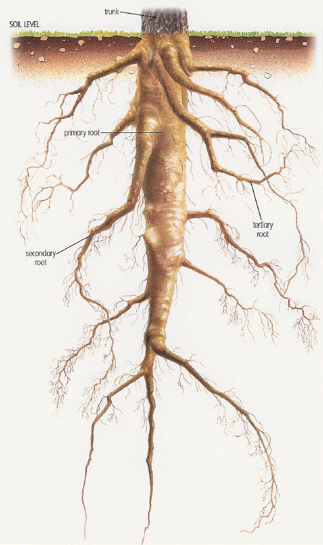 Tap Root Tree Study Oak Botanical Ilration Botany Roots Plant