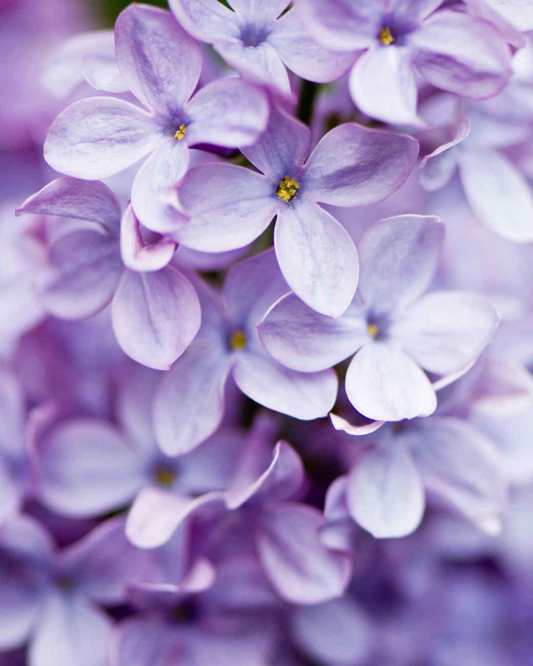 Your Ultimate Guide To Flowering Perennials Which Popular Plants Bloom When In 2020 Light Purple Wallpaper Lavender Aesthetic Purple Wallpaper