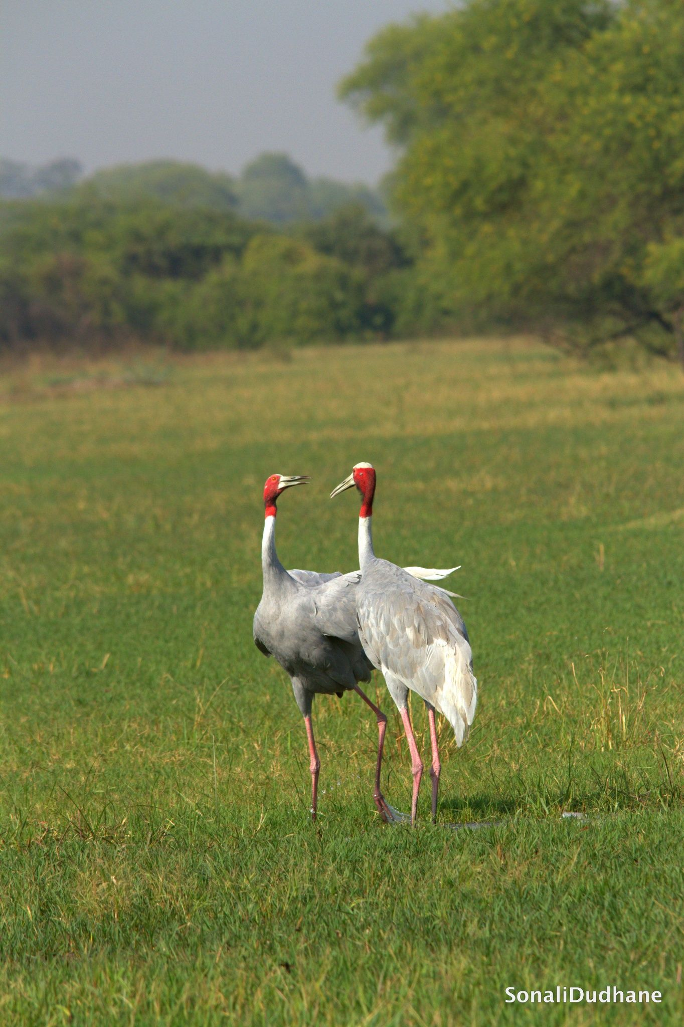 Symbol Of Love Sarus Cranes By Sonali Dudhane On 500px Birds