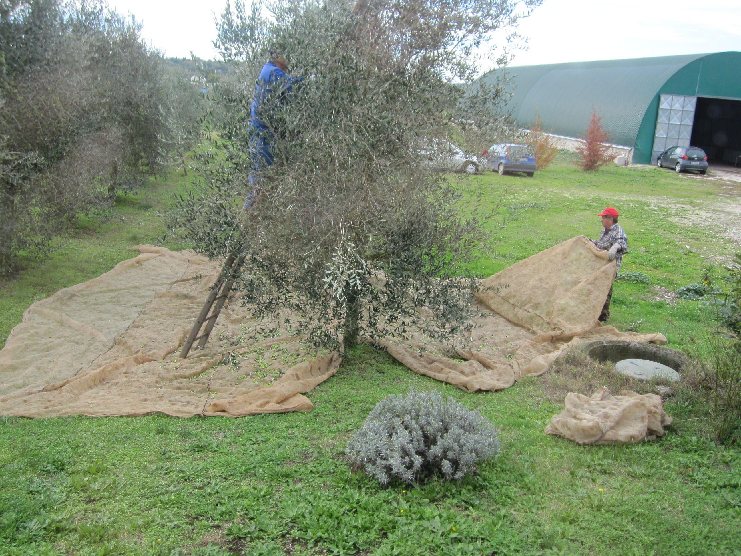 La raccolta degli olivi Frantoio D'Ubaldi @ Sipicciano ...