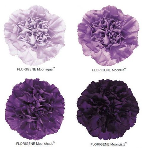 Moon Series Carnations Purple Carnations Purple Wedding Flowers Carnation Flower