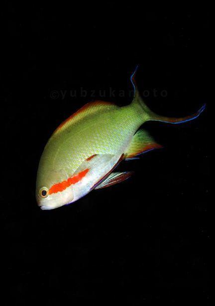 Huchtii Anthias By Yubz Sukamoto Anthias Saltwater Life