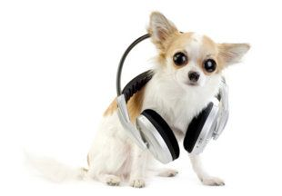 Pet sounds: Do animals really like the music you listen to? http://yhoo.it/GHSqwB  LUV THE TYPICAL CHIHAUHAU LOOK.