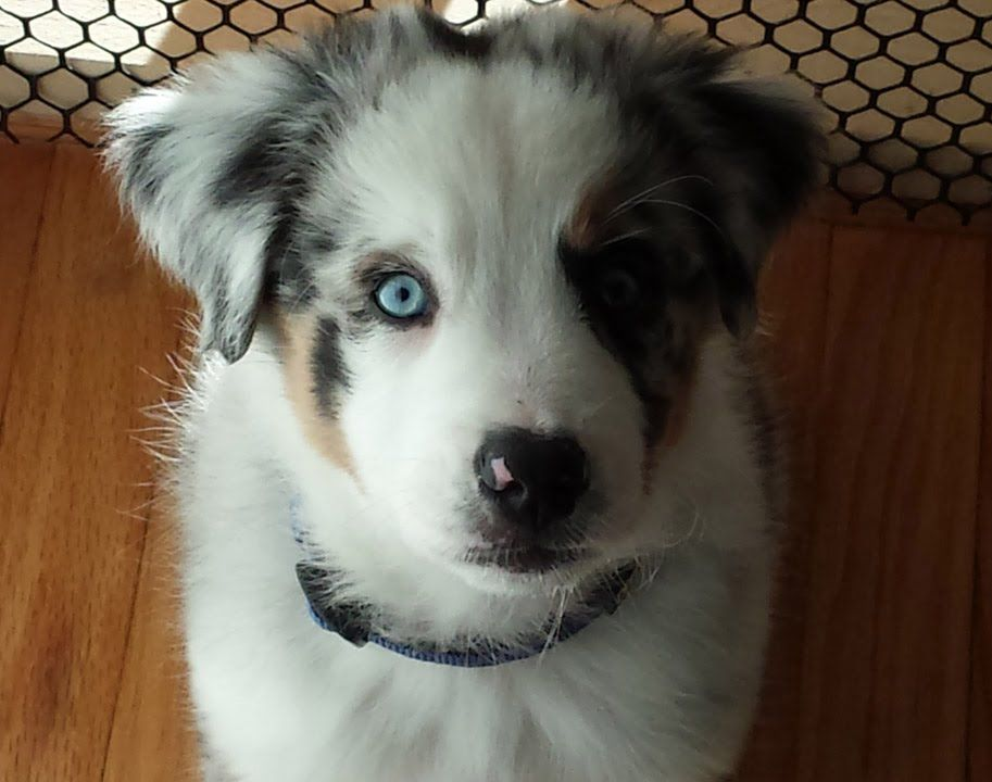Astro The Australian Shepherd Puppy To Adult Australian