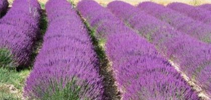 How to Grow Lavender Indoors in a Pot | eHow | Garden | Pinterest ...