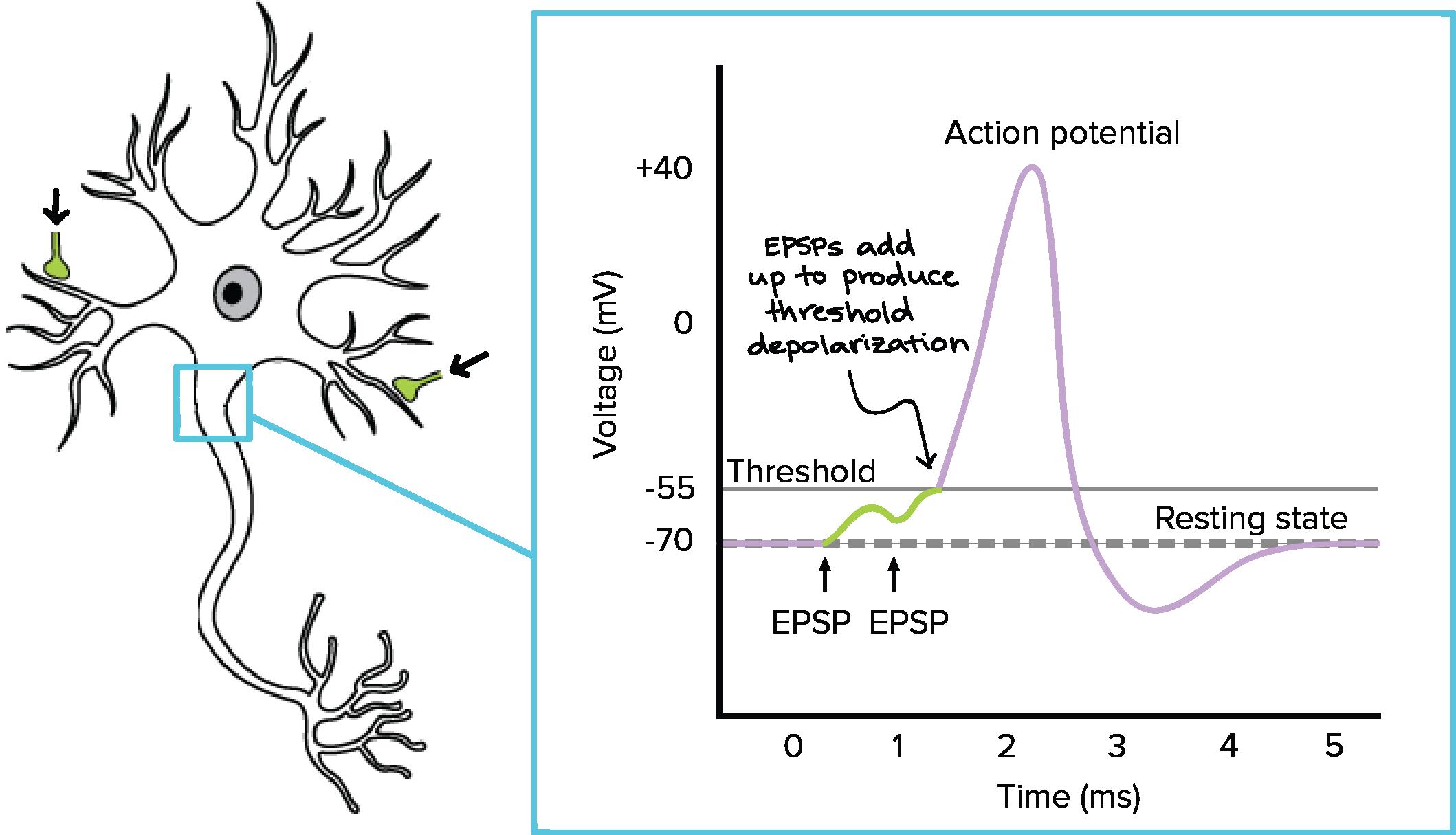 Pin by Eghlima on Neurons Biology, Neuron diagram