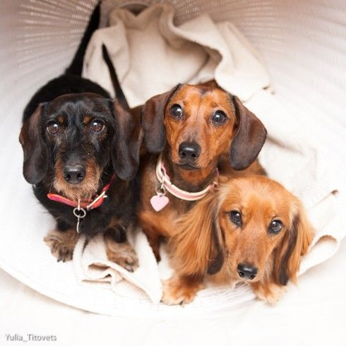 Dirkje, Miniature Wire-haired Dachshund, Dolly, Miniature Smooth-haired Dachshund, and Luna, Miniature Long-haired Dachshund