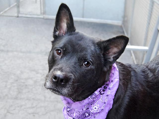TO BE DESTROYED - 03/22/15 Manhattan Center -P My name is LILAC. My Animal ID # is A1030195. I am a female black akita and staffordshire mix. The shelter thinks I am about 2 YEARS I came in the shelter as a STRAY on 03/13/2015 from NY 10029, owner surrender reason stated was STRAY. https://www.facebook.com/photo.php?fbid=979008055445407