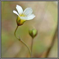 Irish Wildflowers - Fairy Flax