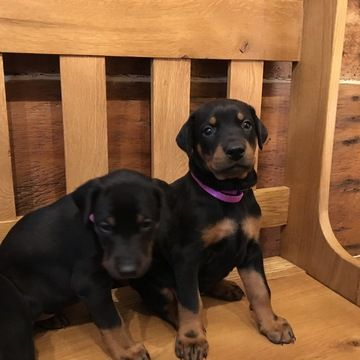 Doberman Pinscher Puppy For Sale In Broadwell Il Adn 20855 On
