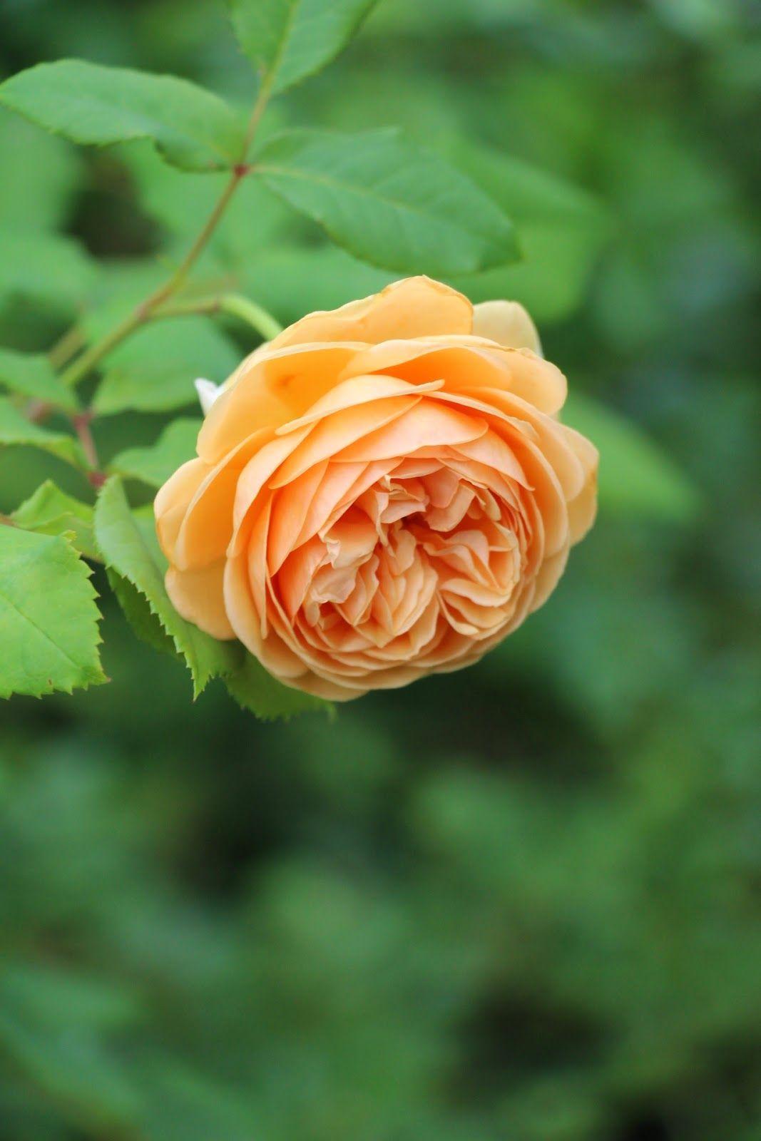 Sabelhagens olivlund : Hemma igen hos rosorna