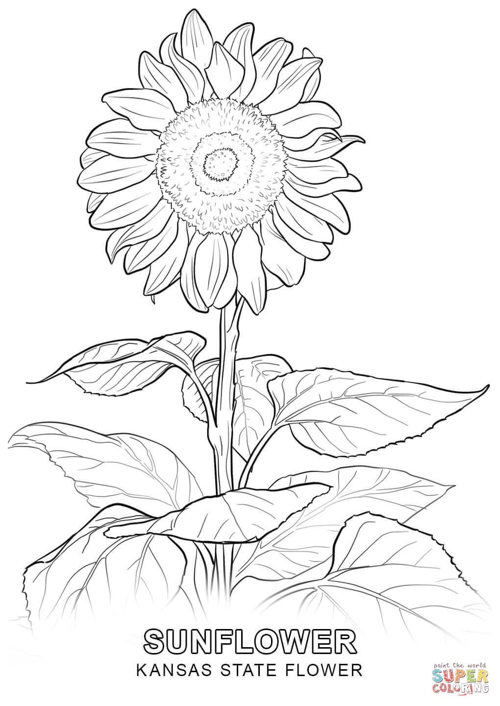 Kansas State Flower Coloring Page Jpg 1020 1440 Sunflower