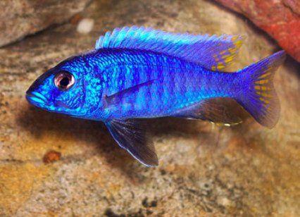 Sciaenochromis fryeri maleri is electric blue ahli for Blue freshwater fish