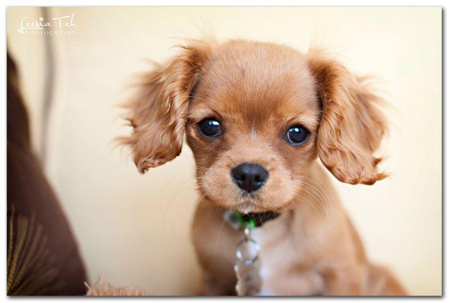 Cavalier King Charles King Charles Cavalier Spaniel Puppy Cavalier Puppy Dog Photograph
