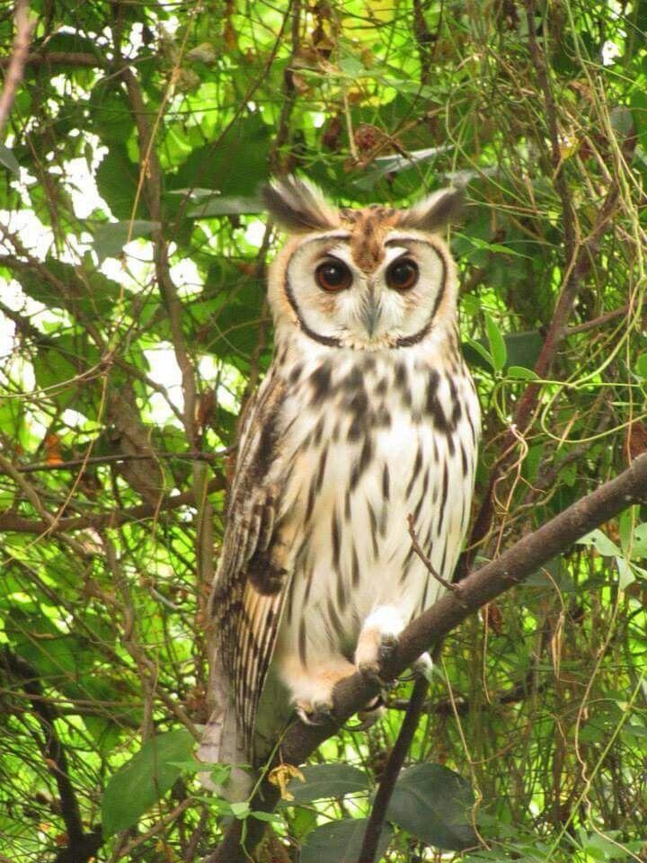 Stripped owl