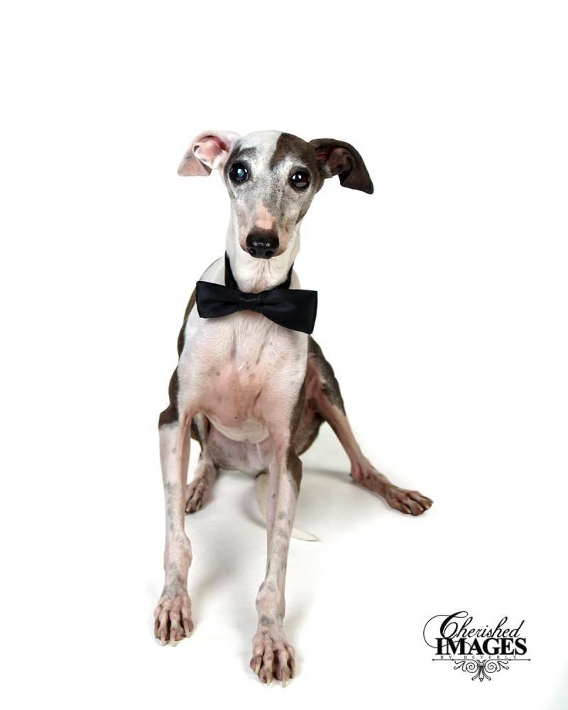 Adopt Duncan on Grey hound dog, Italian greyhound dog