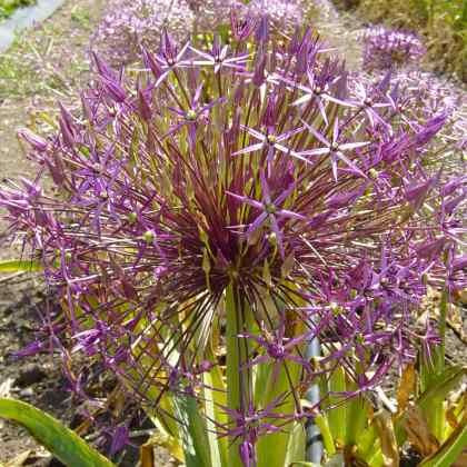 Allium cristophii (AL-lee-um kris-TOFF-ee-eye) i've been looking for these babies for years finally found a nursery growing them in Nz!!