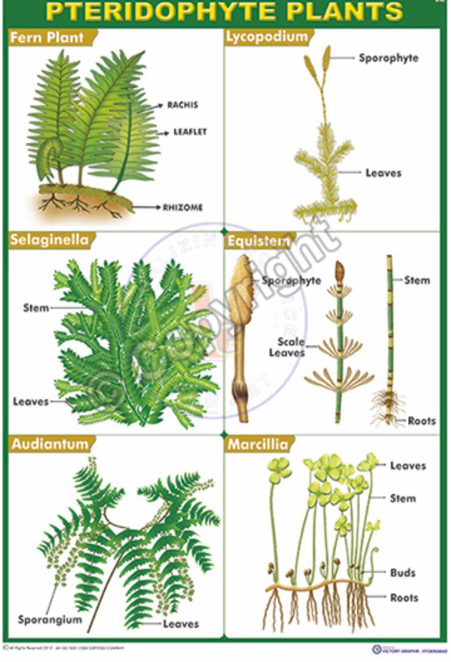 B90 Pteridophyta plants Example Plants, Plant leaves