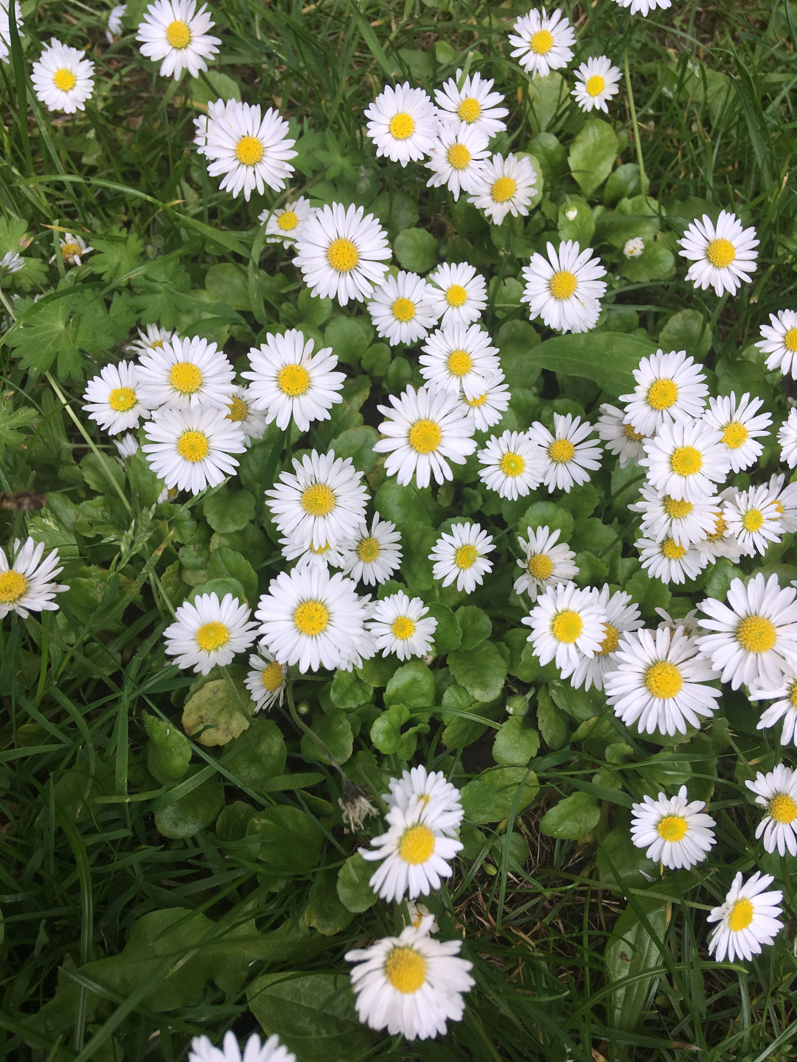 Daisies symbols of innocence in the victorian language of flowers daisies symbols of innocence in the victorian language of flowers izmirmasajfo