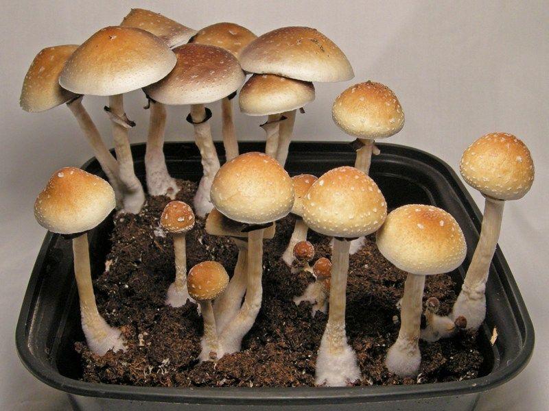 Psilocybe cubensis | entheogen plants | Stuffed mushrooms, Mushroom