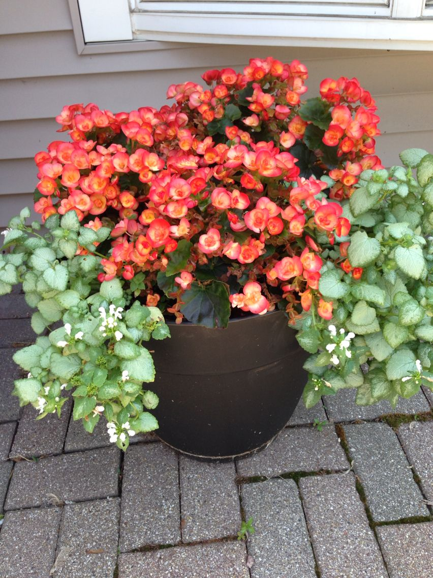 Beautiful Begonias And Lamium In A Shady Spot Near The Front Door Love Shade Garden Plants Shade Garden Begonia