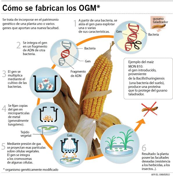 Y como se producen los OGMS ? Buena infografia