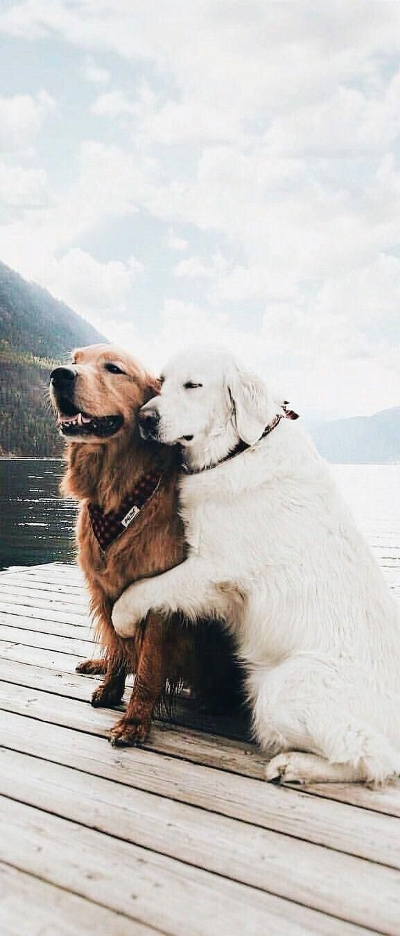 Golden Retriever Noble Loyal Companions Cute Animals Funny