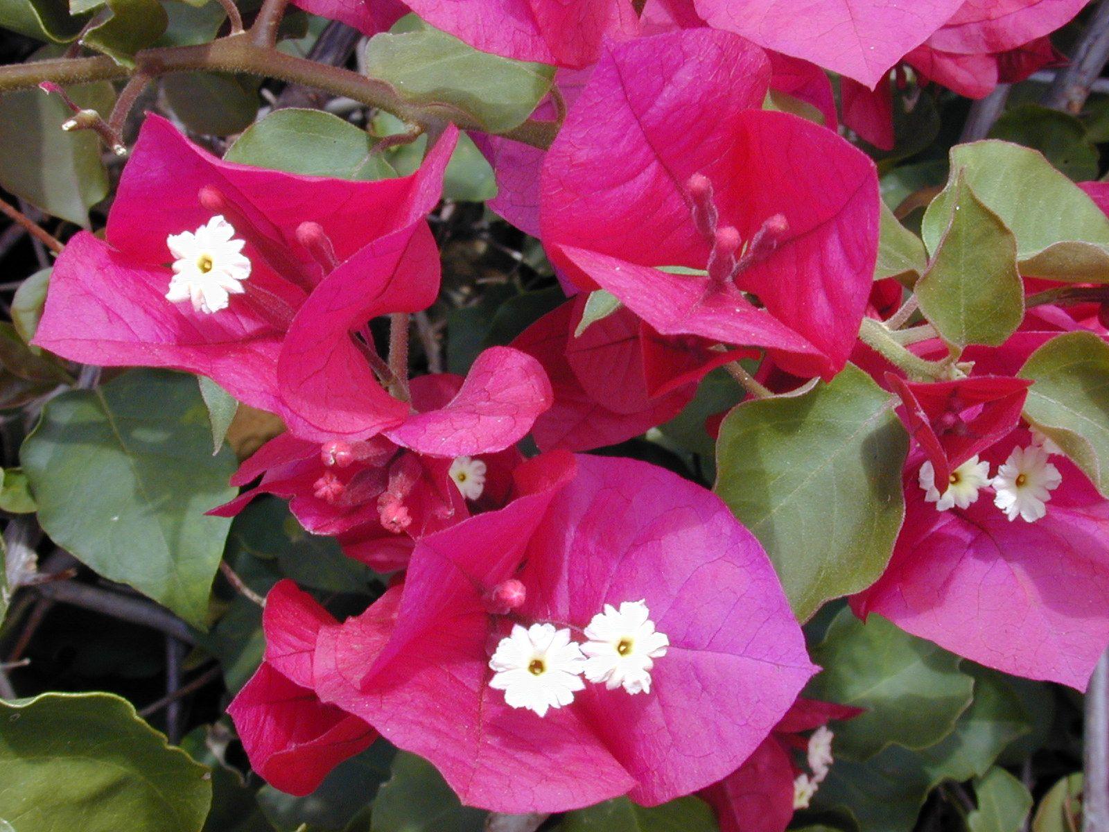 Bougainville Fleur avec bougainvillea spectabilis - great bougainvillea | gardening that i
