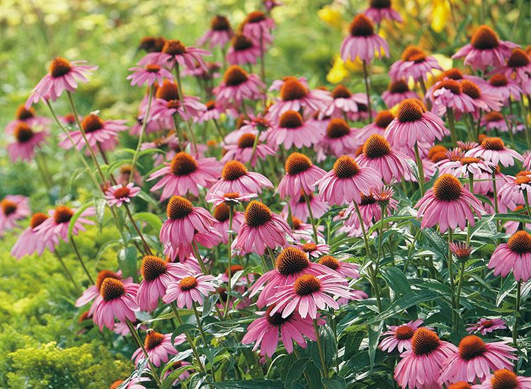 Coneflower Growing Guide Flower Care Flower Pot Design Flowers Perennials