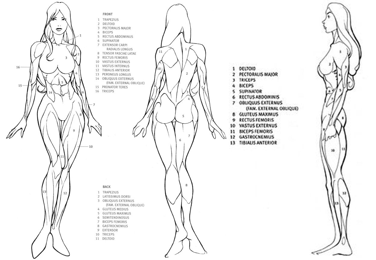 Image result for female anatomy drawing | anatomy reference ...