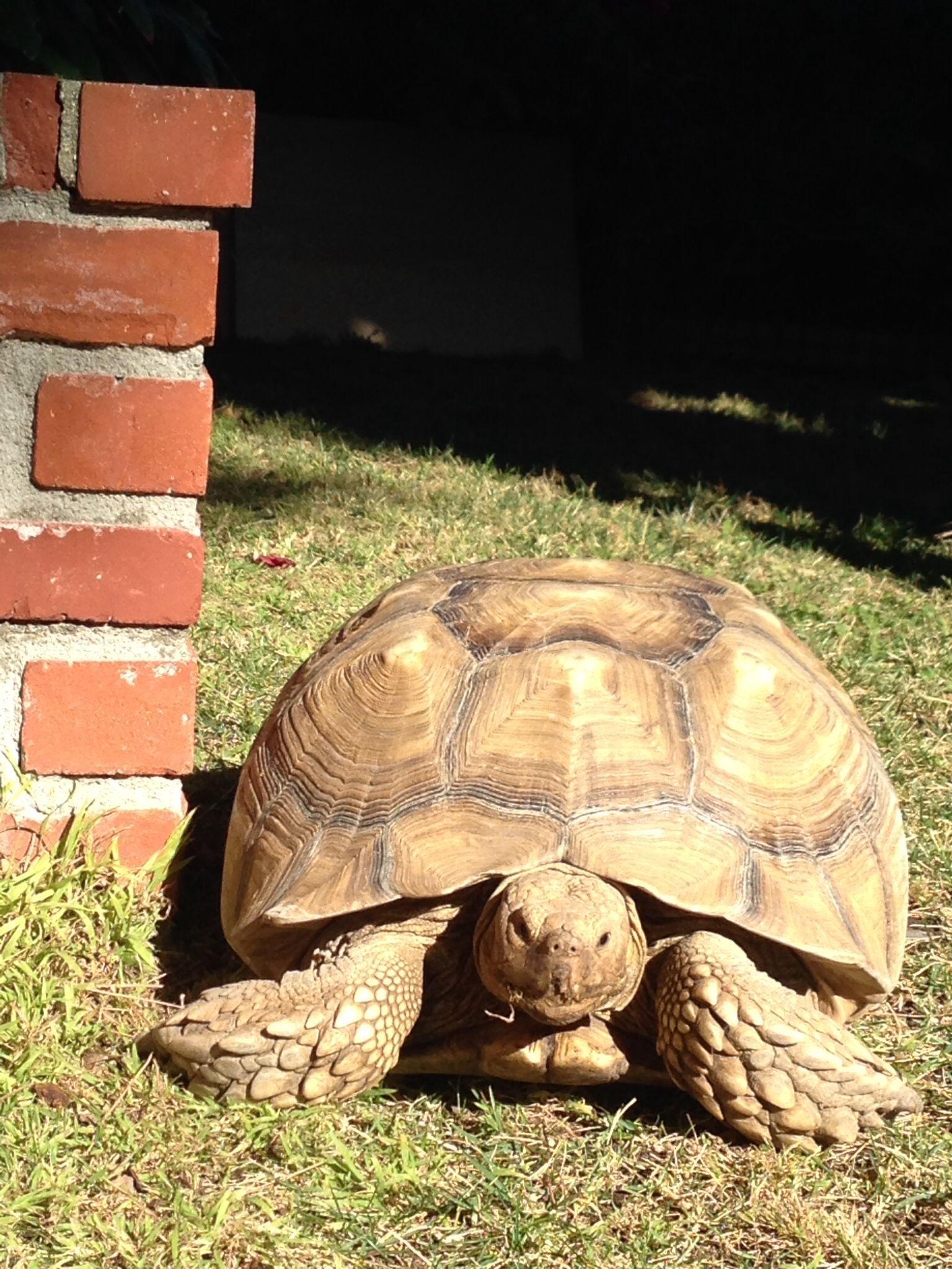 80 Pound Female Sulcata Tortoise 10 Years Old Sulcata Tortoise Tortoise Turtle Tortoises
