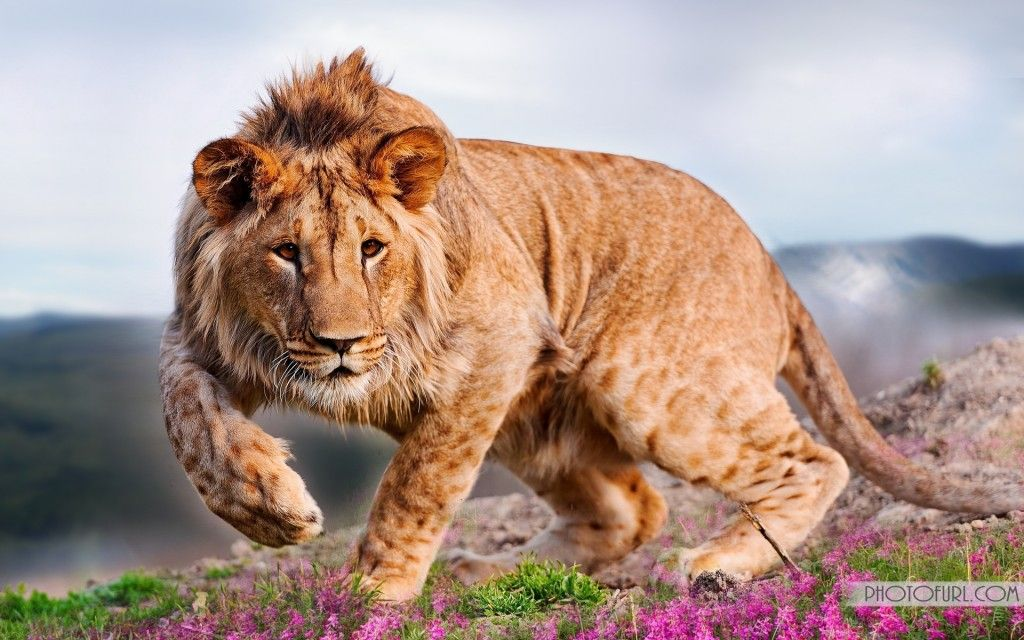 Animals Happy Lion Wallpapers Hd Desktop And Mobile: Lion HD Wallpapers Free Wallpaper Downloads Lion HD