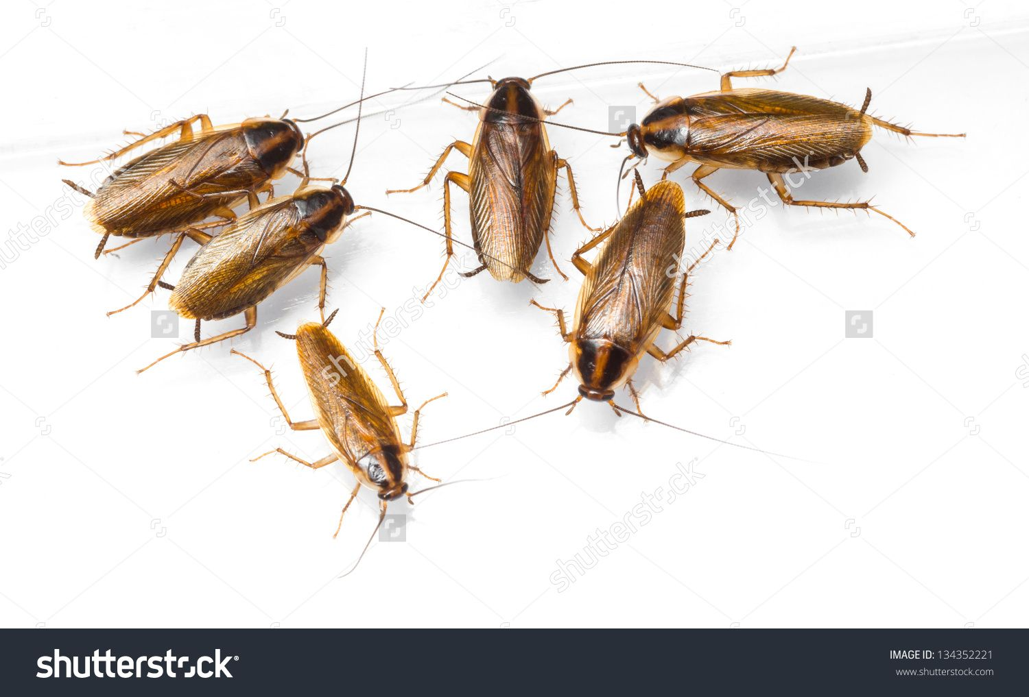 Close Up Blattella Germanica German Cockroach Isolated On White