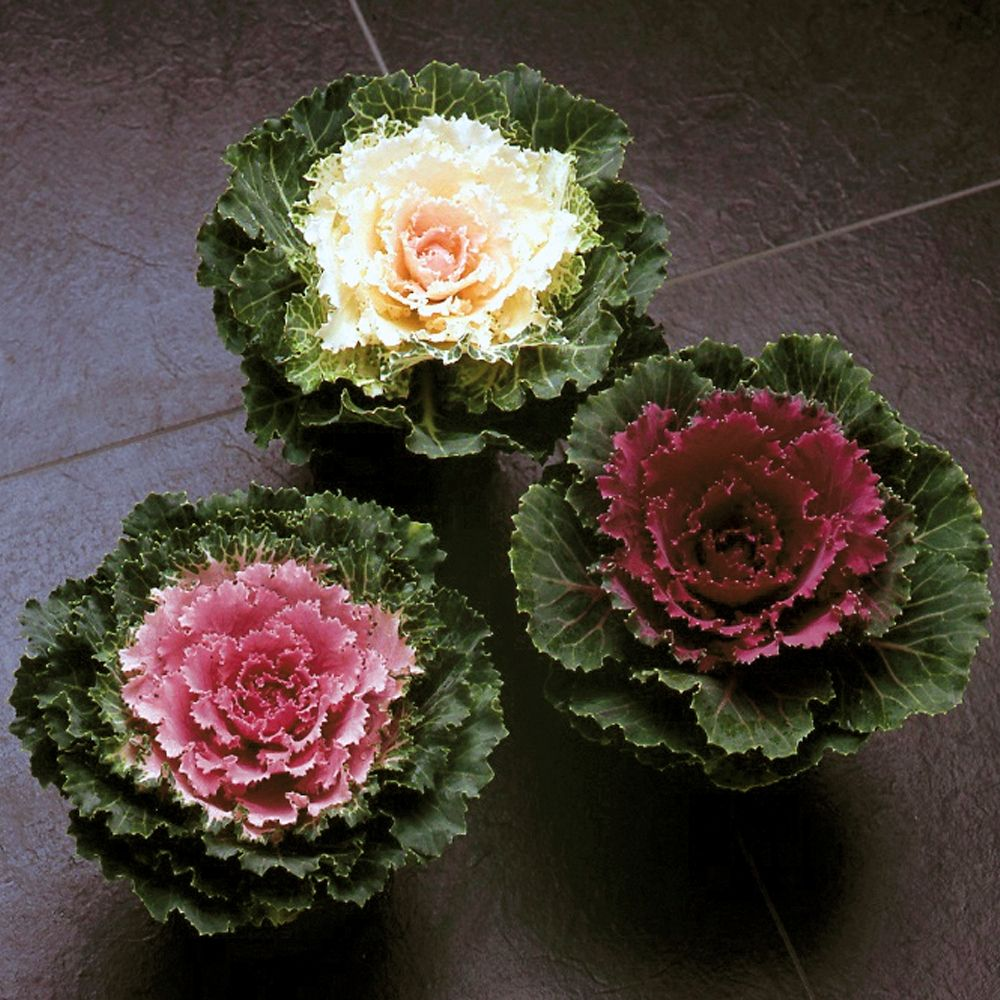 love ornamental kale cabbage for winter flower beds mine have