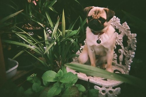 This Photo Of Atlas The Pug Was Taken By Skttrbrain With A Holga