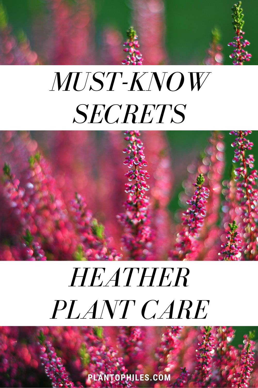 Heather Plant Care Best Kept Secrets In 2020