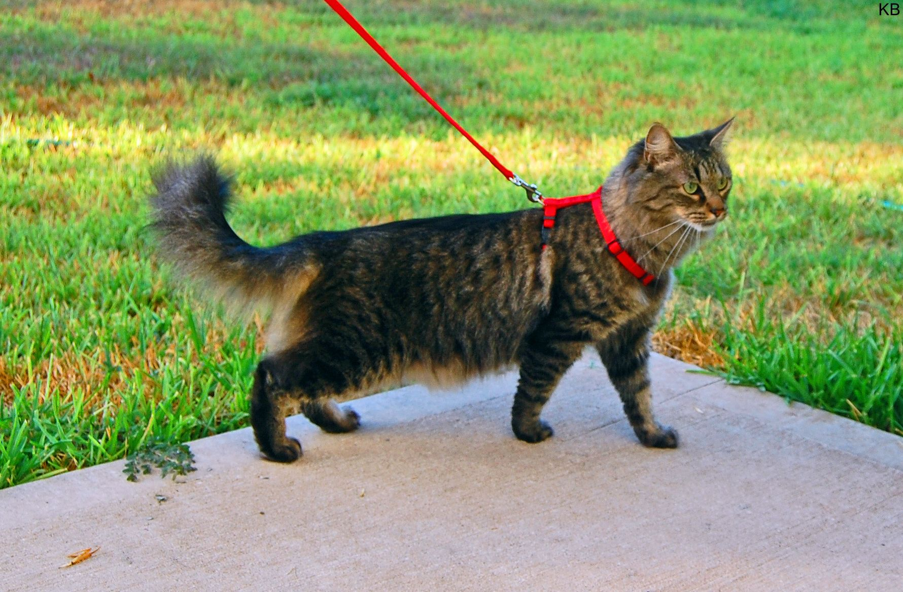 How To Walk Your Cat Using A Harness Or Vest Cat Leash Cat Collars Cat Tags Collar