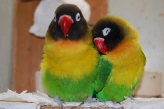 Papageienzeit - Artenportrait: Agaporniden