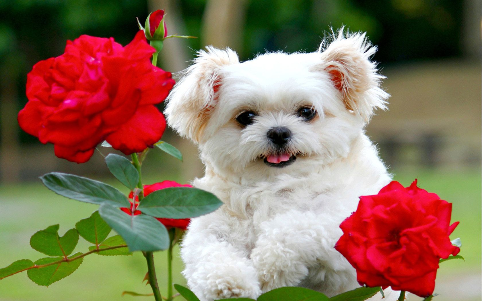 A Second Look Why The Dog Tried To Eat The Child Cute Fluffy Puppies Cute Puppy Wallpaper Cute White Puppies