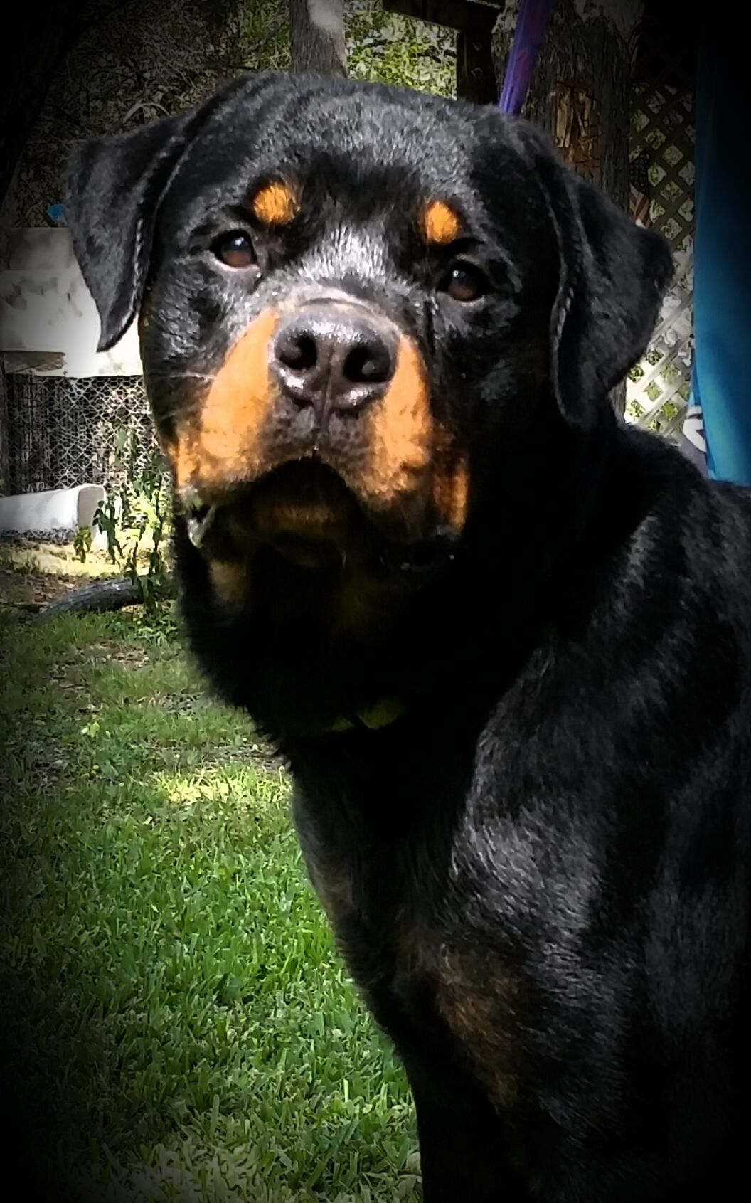 Texas Rottweiler Ranch Check us out at www