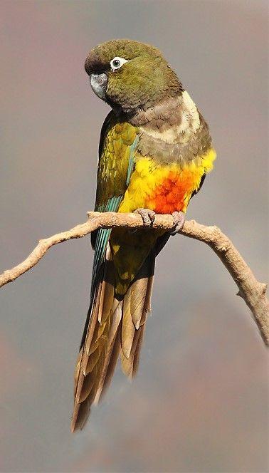 Loro barranquero Burrowing Parakeet (bloxami