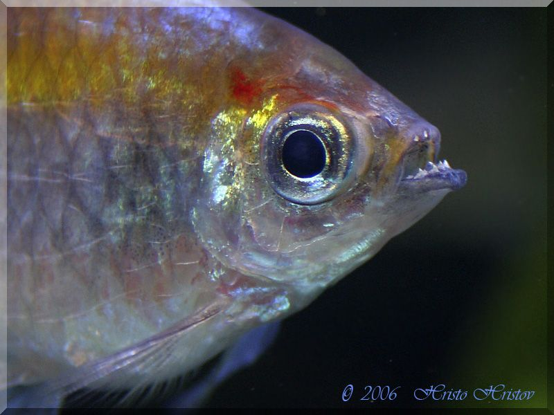 Congo Tetra Teeth All Fish Beautiful Freshwater Tropical