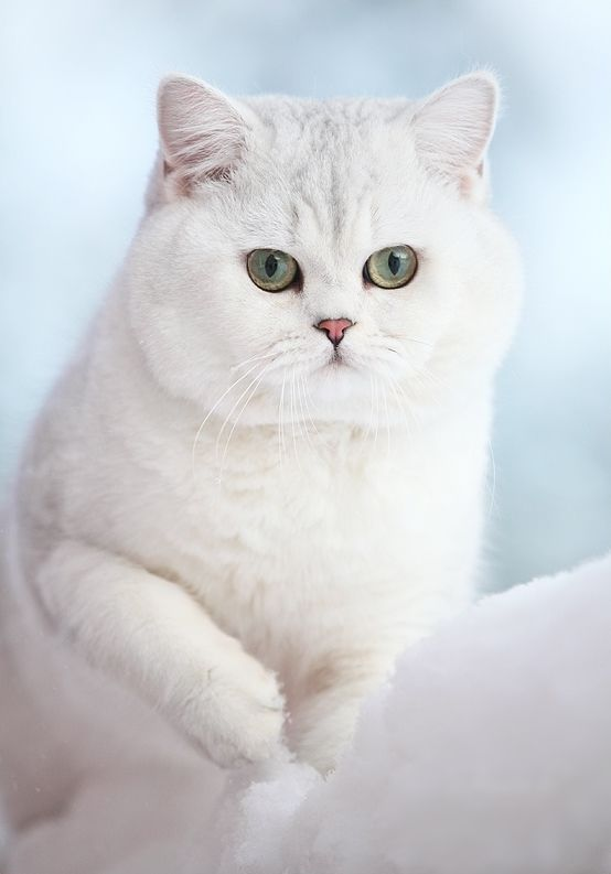 British Shorthair Cat History Click The Picture To Read Pretty