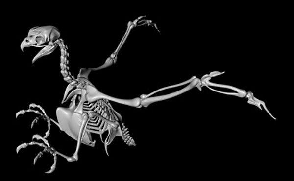 bird skeleton | Birds, Feathers | Skeleton drawings, Animal