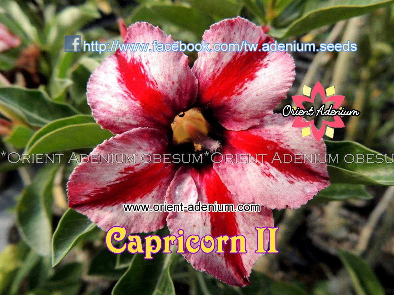 ; Fast growing native plant Alyogyne hakeifolia DESERT ROSE SEEDS