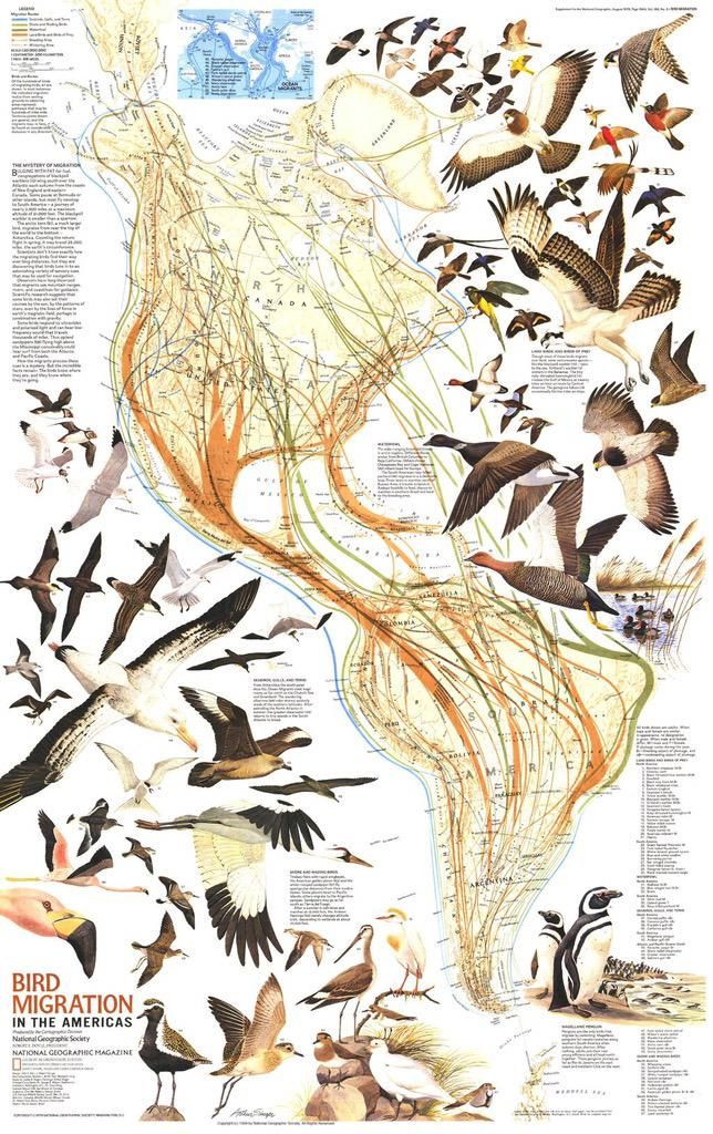 Aves Playeras On Twitter Bird Migration Bird Migration Map National Geographic Maps