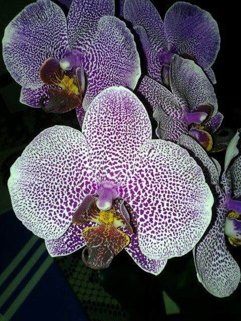 Purple orchidea