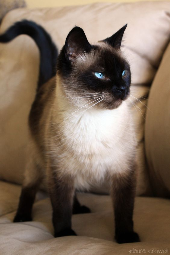 The Siamese cat is believed to have originated in Southeast Asia and to be descended from the ancient temple cats of Siam. This breed was so revered that only kings and their families were allowed to own them. Siamese cats are often social extroverts and highly intelligent.  #cats #cutecats  cat cute | cute cats and kittens | cat beautiful| cat lovers | kittens cute