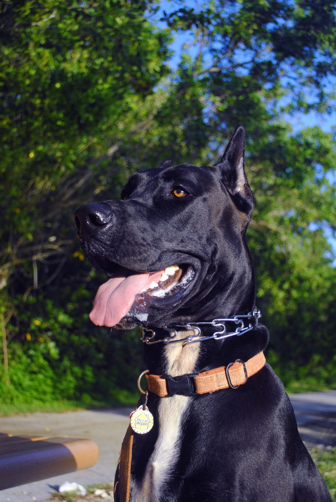 Great Dane See more about phoenix dog training at